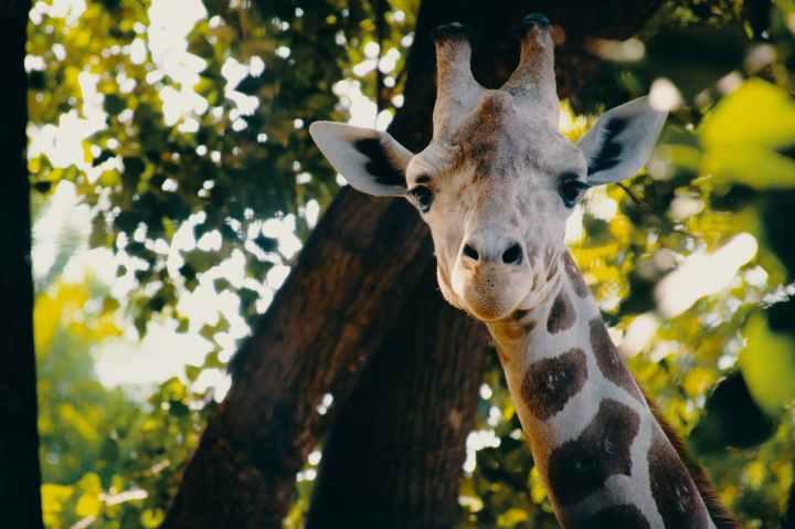 closeup photography of giraffe